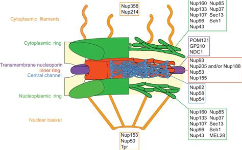Perforating the nuclear boundary – how nuclear pore