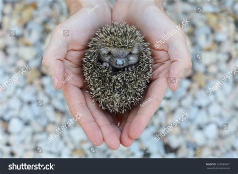 Environment Protection: Little Animal - Hedgehog In Human