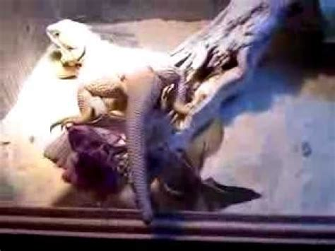 pregnant bearded dragon or not does she look gravid - YouTube