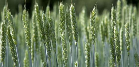 Adaptation and Resilience in Plant Breeding   Norges miljø