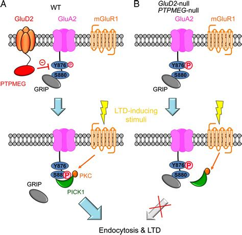 The δ2 glutamate receptor gates long-term depression by