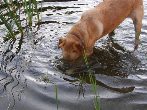 Canine Diseases (II) – Parvovirus, Kennel Cough and